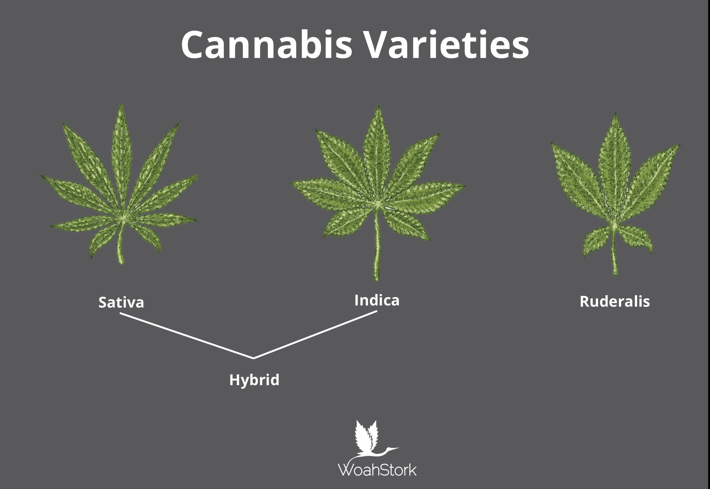 Sativa vs Indica vs Hybrid vs Ruderalis   Weeding   Pinterest