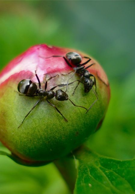 how to get rid of ants on peonies