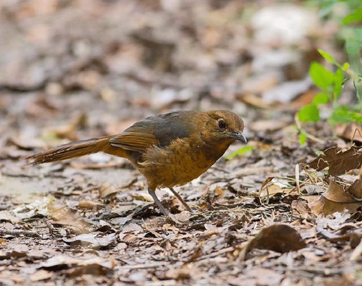 Mengetahui Ciri Khas Burung Anis Geomalia Dan Daerah Persebarannya Burung Jalak