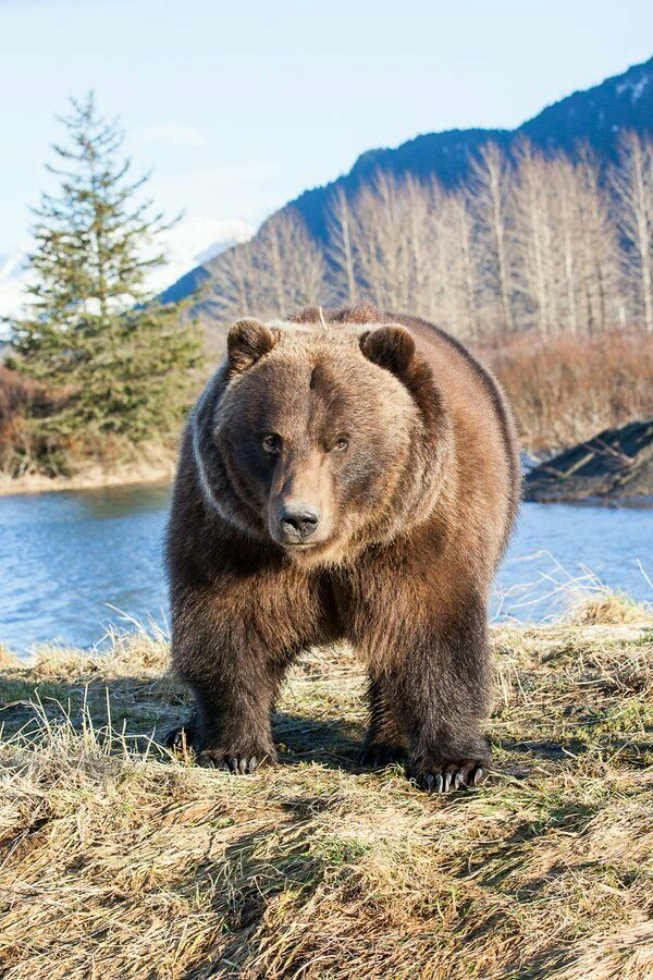 grizzly beer | animal kingdom | bear paintings, animals beautiful