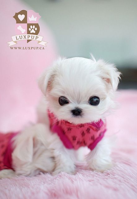 Teacup Size Maltese Cute Baby Animals Puppies Cute Puppies