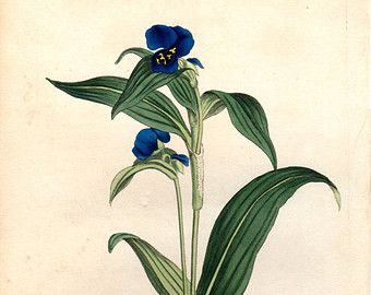 1814 Rare Antique Botanical Print Blue Commelina Curtis Botanical Vintage Floral Plate