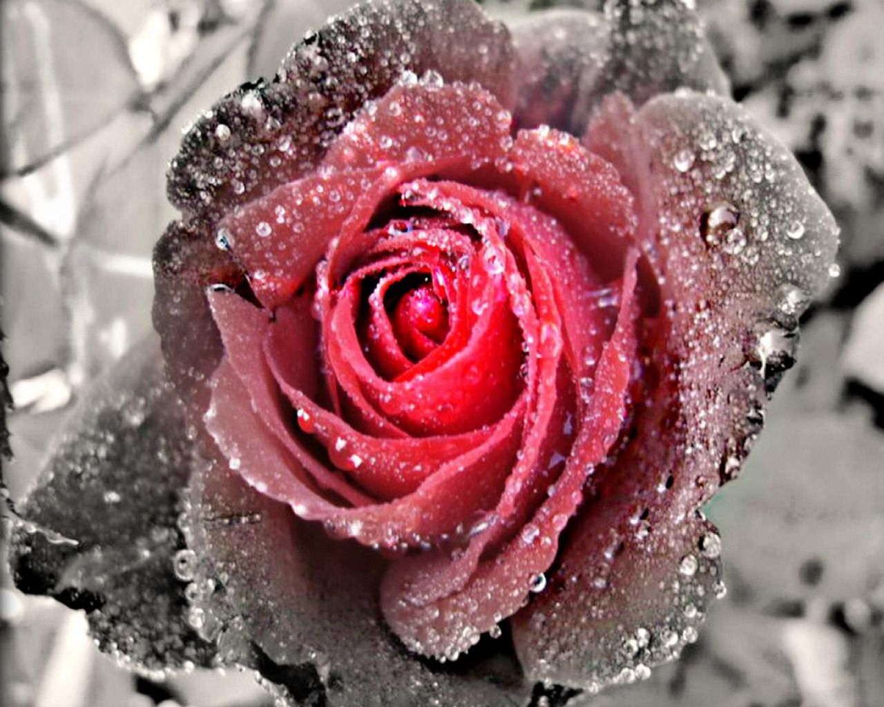 Black And White Rose Wallpaper With Some Color