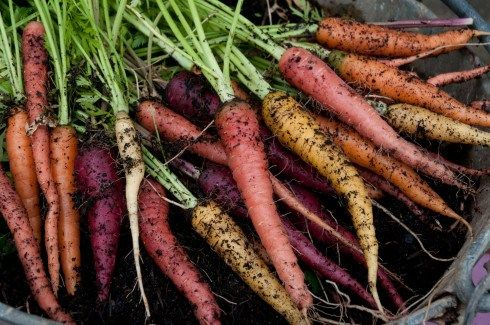 Rainbow Mix Carrots Growing Vegetables At Home Growing 400 x 300