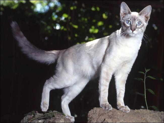 Siamois Lynx Point Ou Lynx Point Siamese Chat Races De Chats Photo Chat
