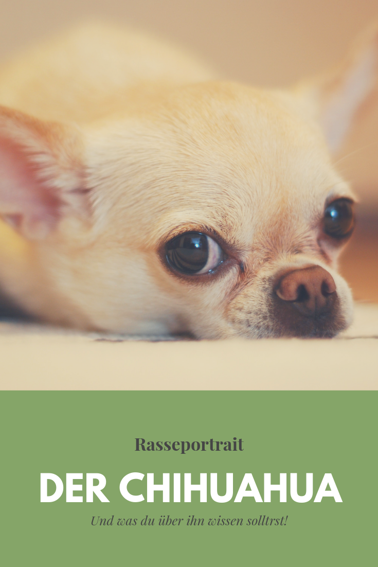 Darum Solltest Du K Einen Chihuahua Haben Pfotchentraining Chihuahua Hund Chihuahua Hunderassen