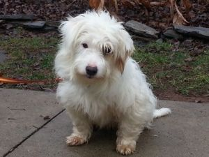Adopt Winston Applications Closed On Petfinder West Highland White Terrier Westie Dogs Poodle Mix Dogs