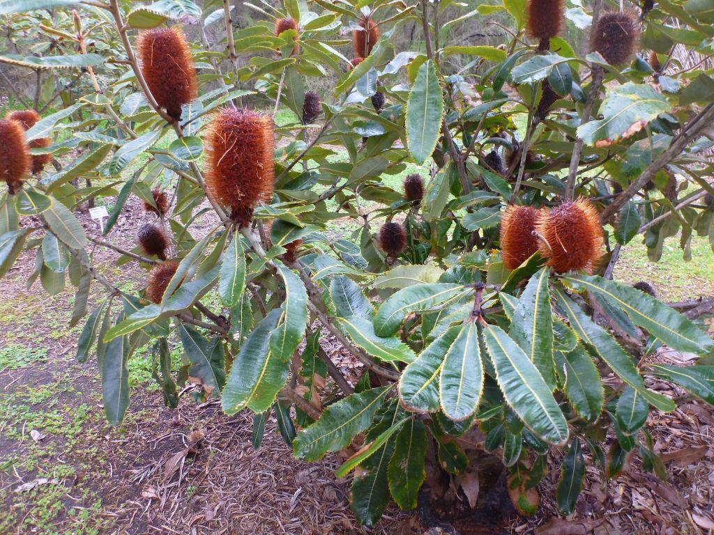 Banksia Robur Swamp Banksia Gardening With Angus Australian Native Plants Plants Flower Essences