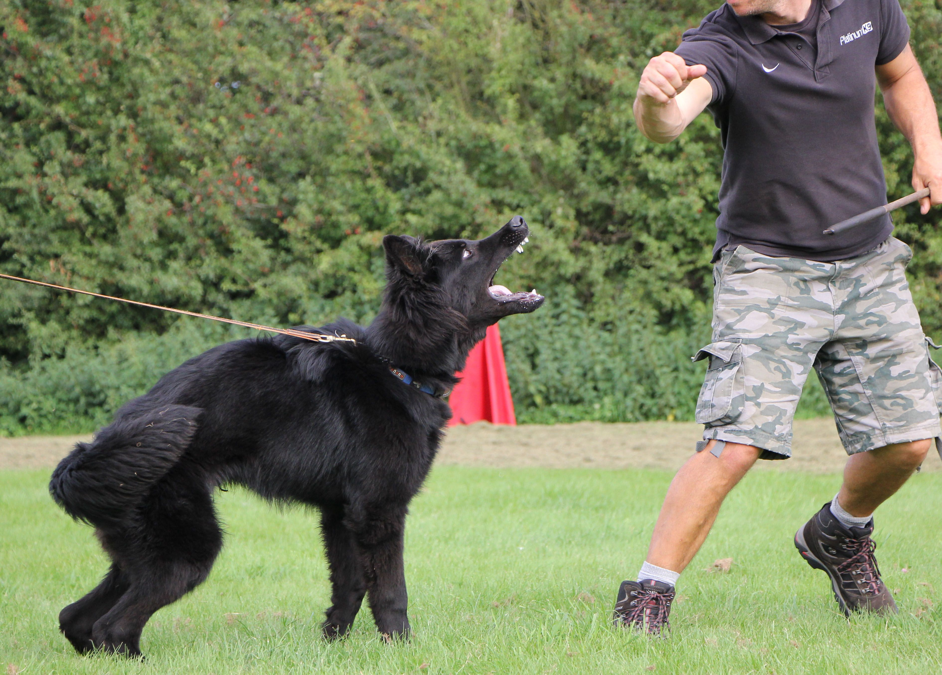 Dog trainer near me dog trainer personal protection dog