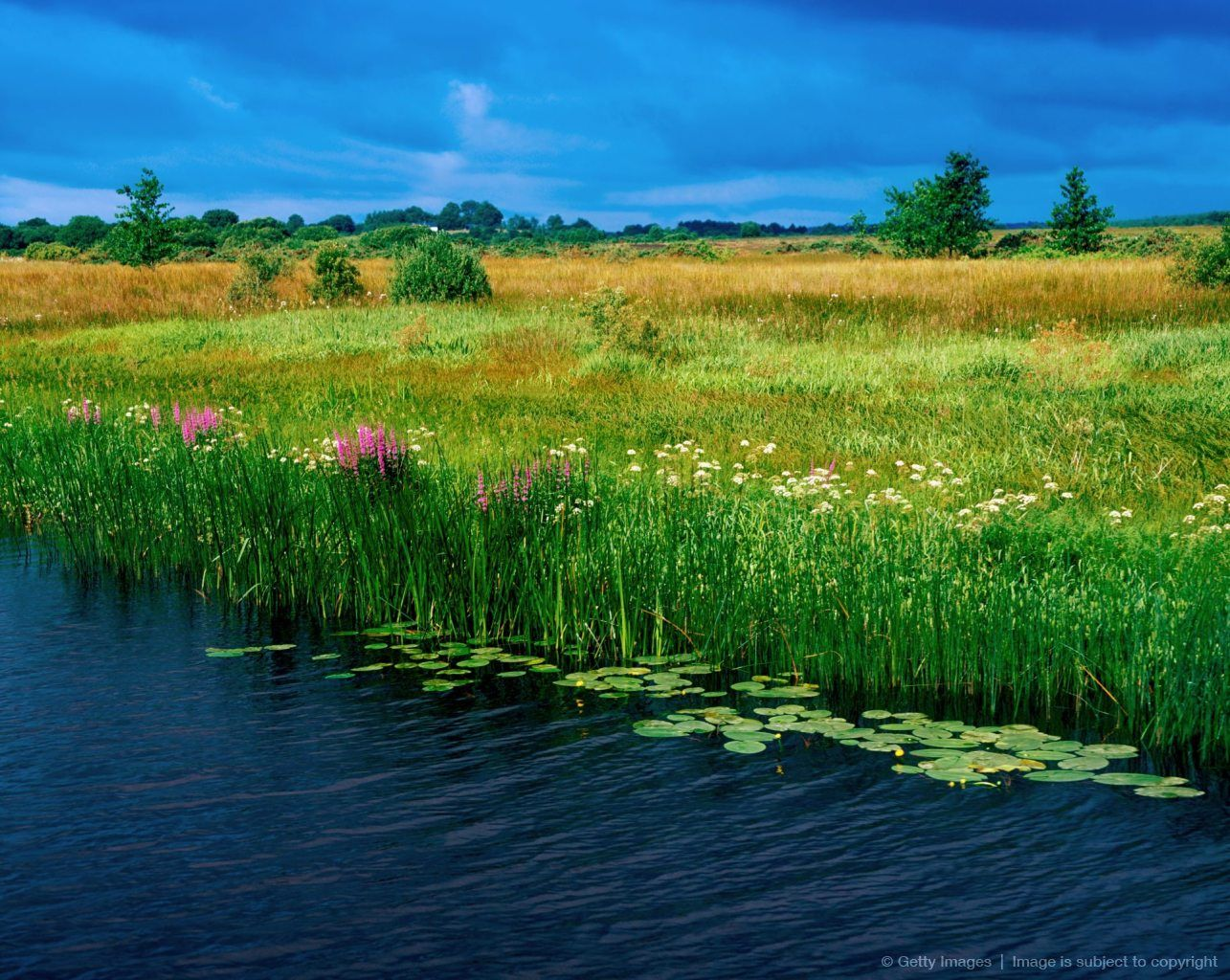 Wild Flowers Amp Reeds River Shannon County Leitrim