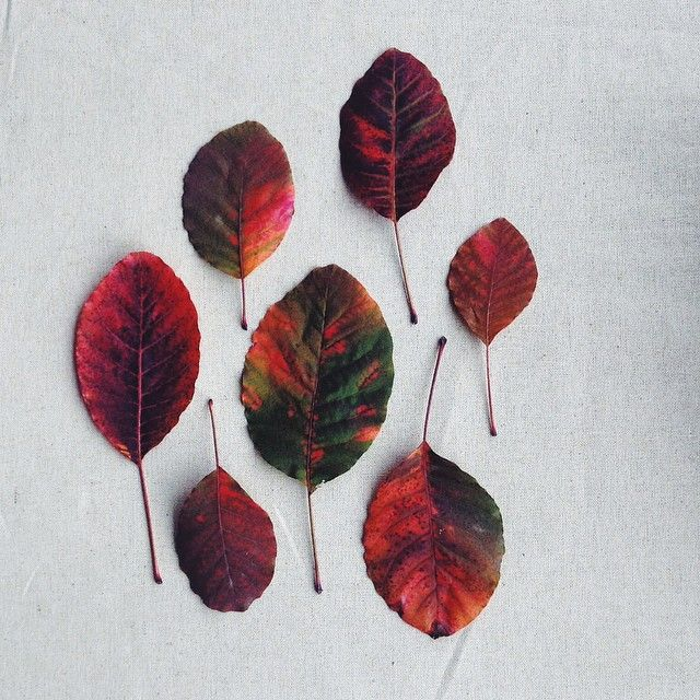 Found more smokebush leaves on the way home, the colors are so electric | via @bookhou