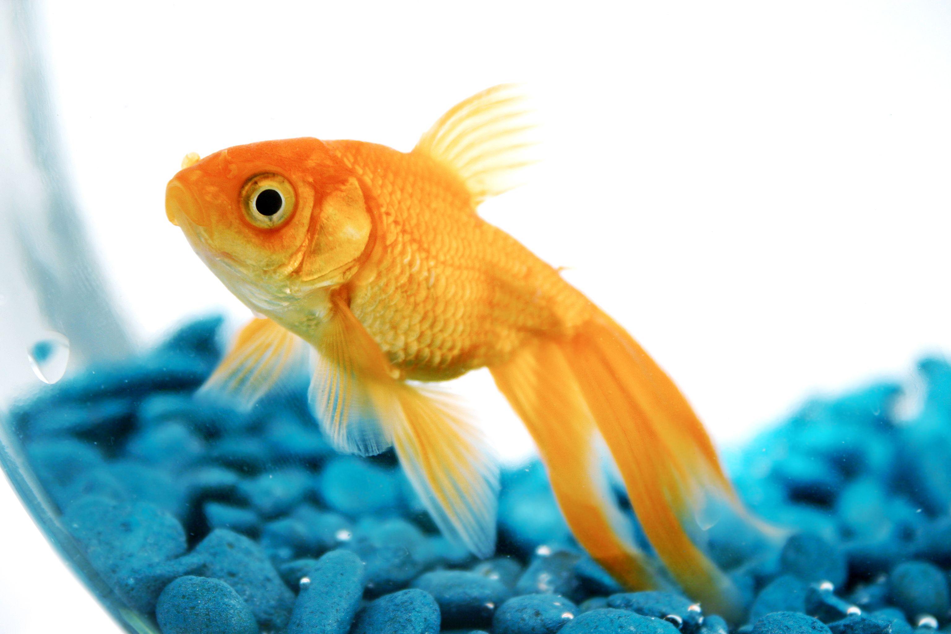 Pet goldfish may get banned in San Francisco Pet