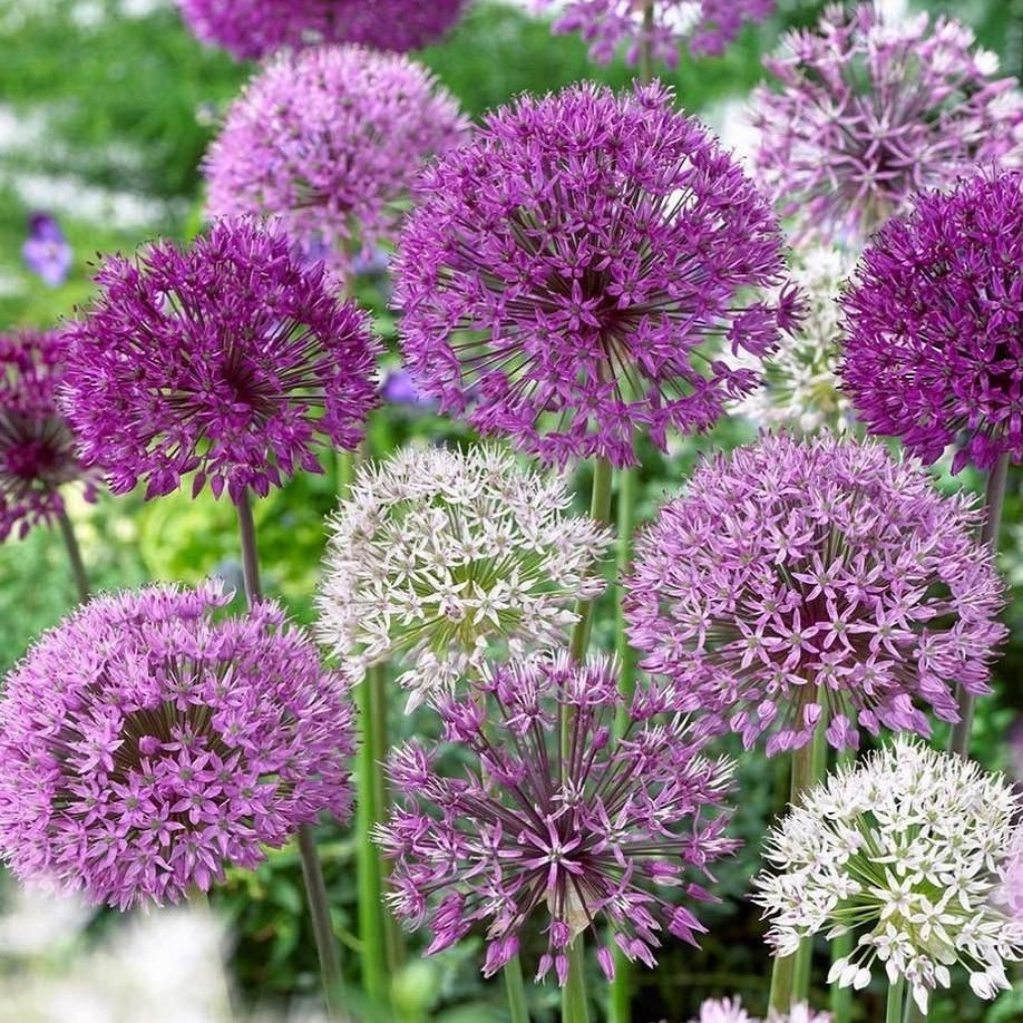Allium Ampeloprasum Allium Flowers Allium Garden Plants