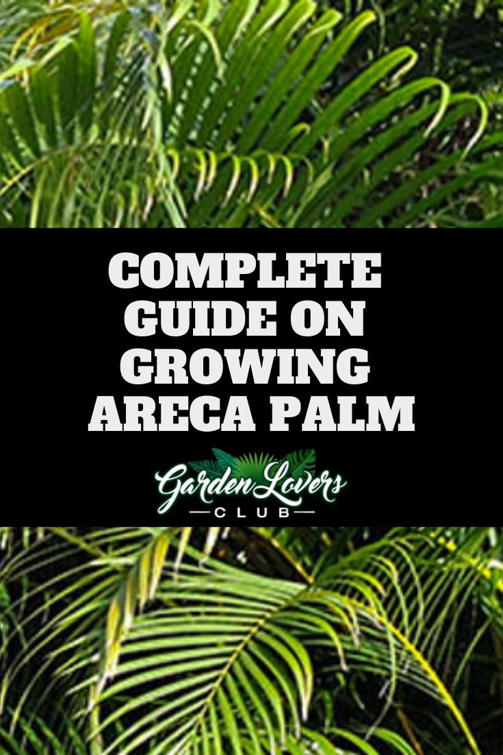 Areca palm care complete guide on growing areca palm
