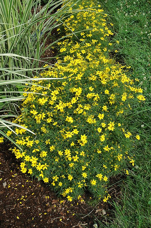 Zagreb Coreopsis Coreopsis Verticillata Zagreb At Bachman S Landscaping Tickseed Tickseed Coreopsis Landscape
