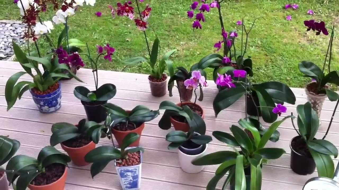 The most popular species of orchids is Phalaenopsis. How to care for this beautiful plant and how to multiply it