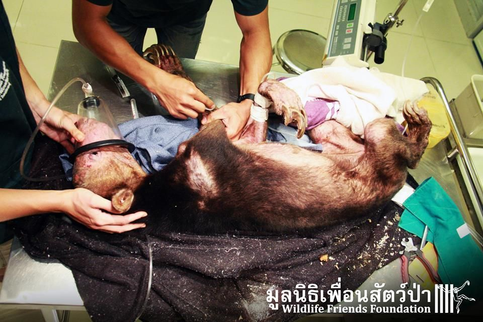 Wrenching Photos Of Unrecognizable Bear Reveal Horrors Of Exotic Pet Trade