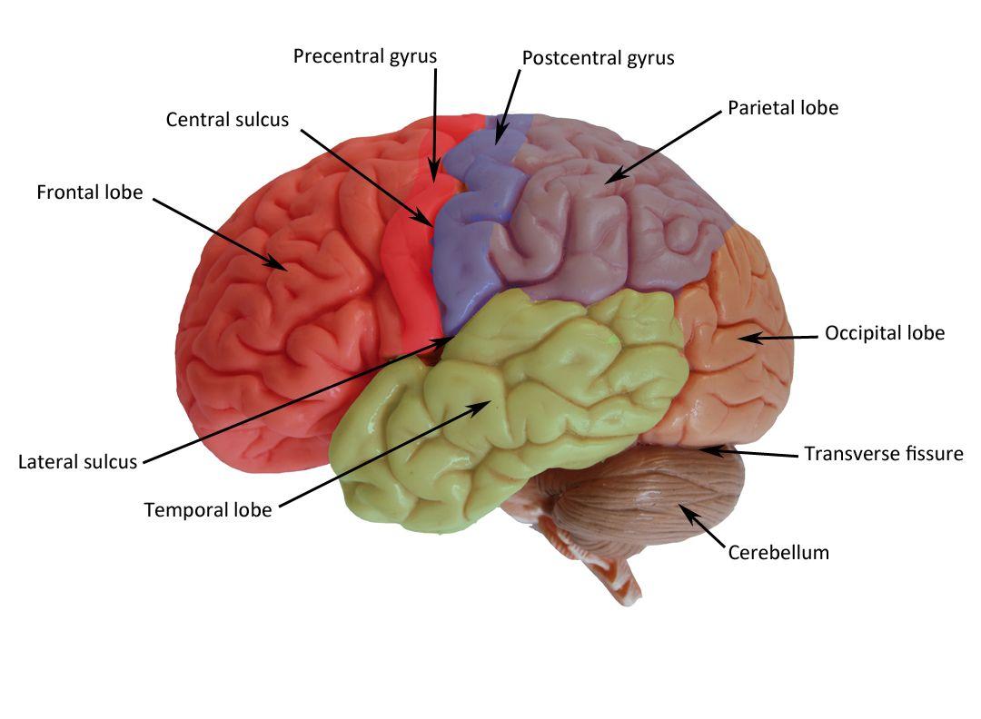 Brain Pictures Human Brain Human Brain Diagram [ 792 x 1080 Pixel ]