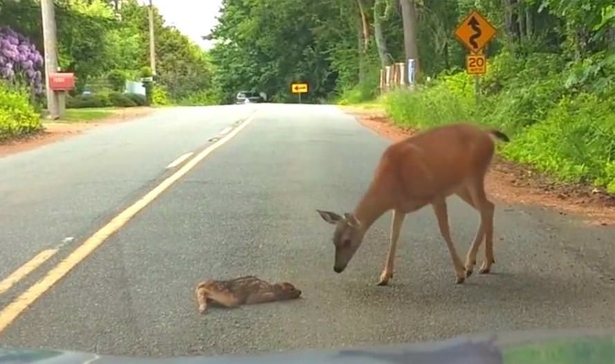 Tiny Fawn Is Frozen With Fear In Middle Of The Road Until