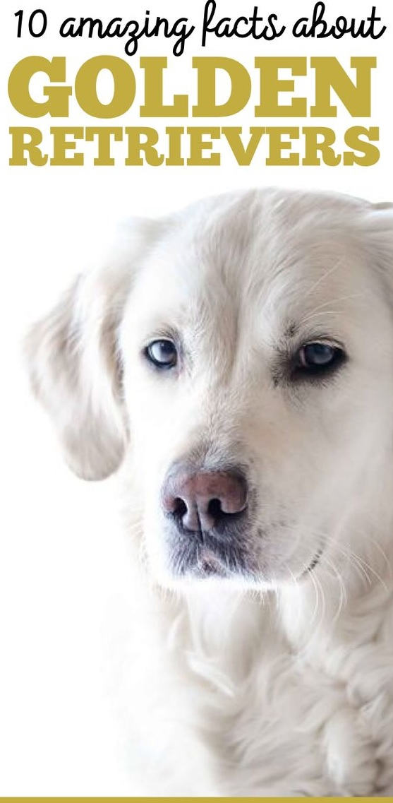 You May Think You Know A Lot About Golden Retrievers Because They