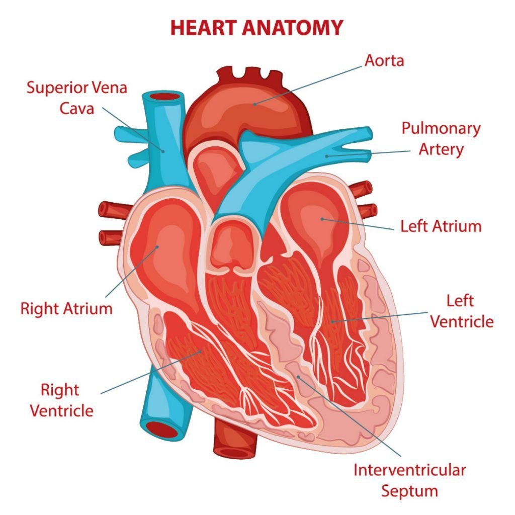 Anatomy of the human heart | Aortic valve replacement ...
