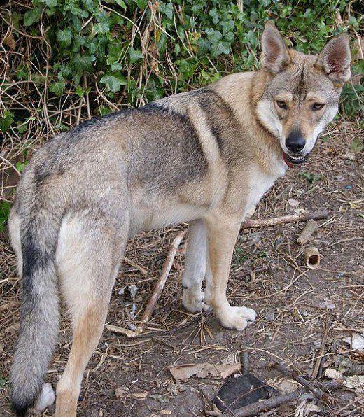 Tschechischer Wolfshund Züchter - MENARALOGAM
