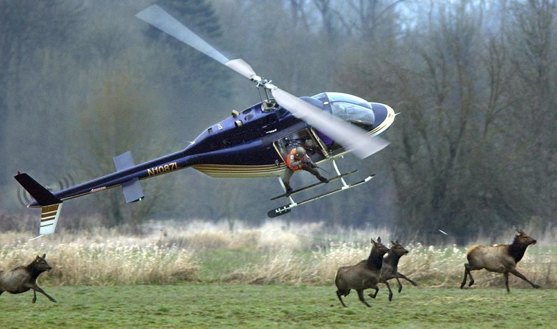 2015115 In brief Helicopters aid elk research