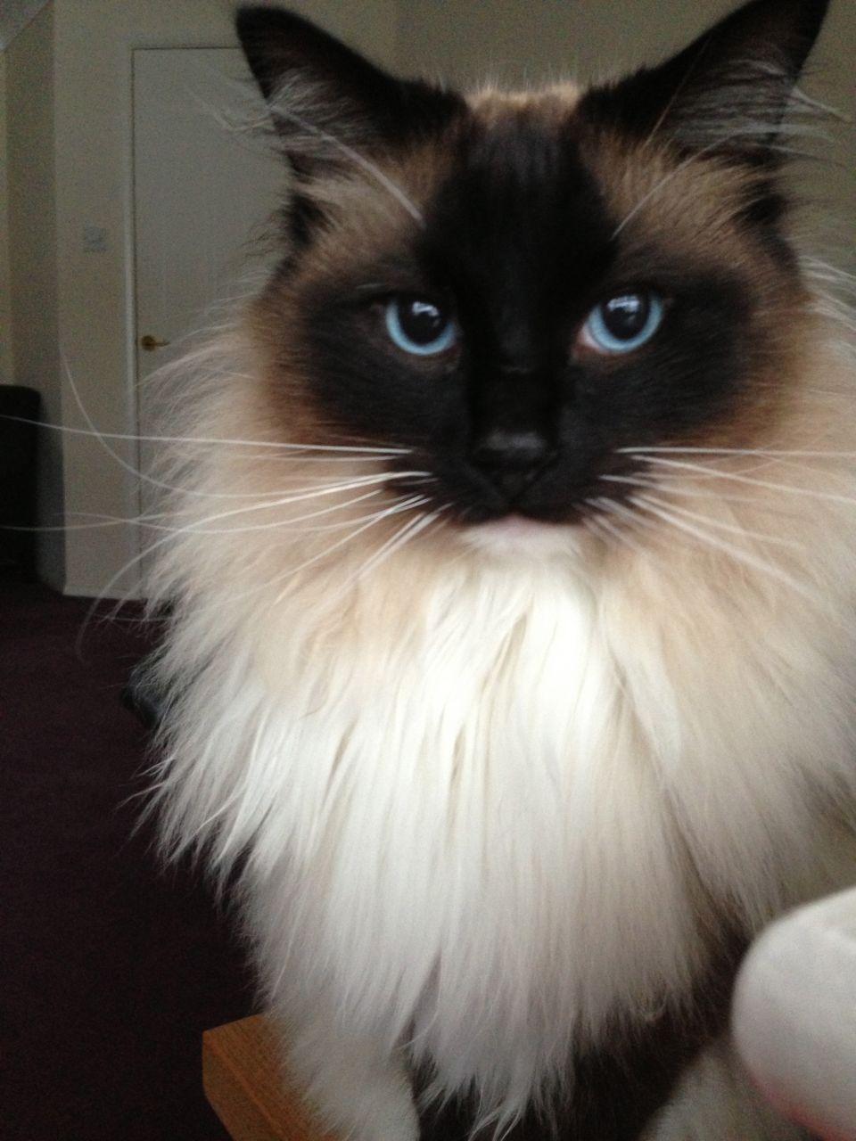 Beautiful Male Pedigree Ragdoll Cat For Sale Bishops Stortford Hertfordshire Pets4homes Ragdoll Cats For Sale Ragdoll Cat Ragdoll Kitten