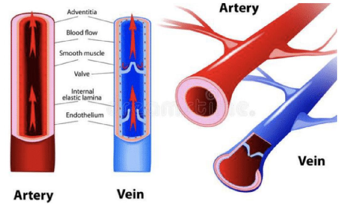 e419ee81259a61e489073b4c73e9673d - How Does Blood Get From An Artery To A Vein
