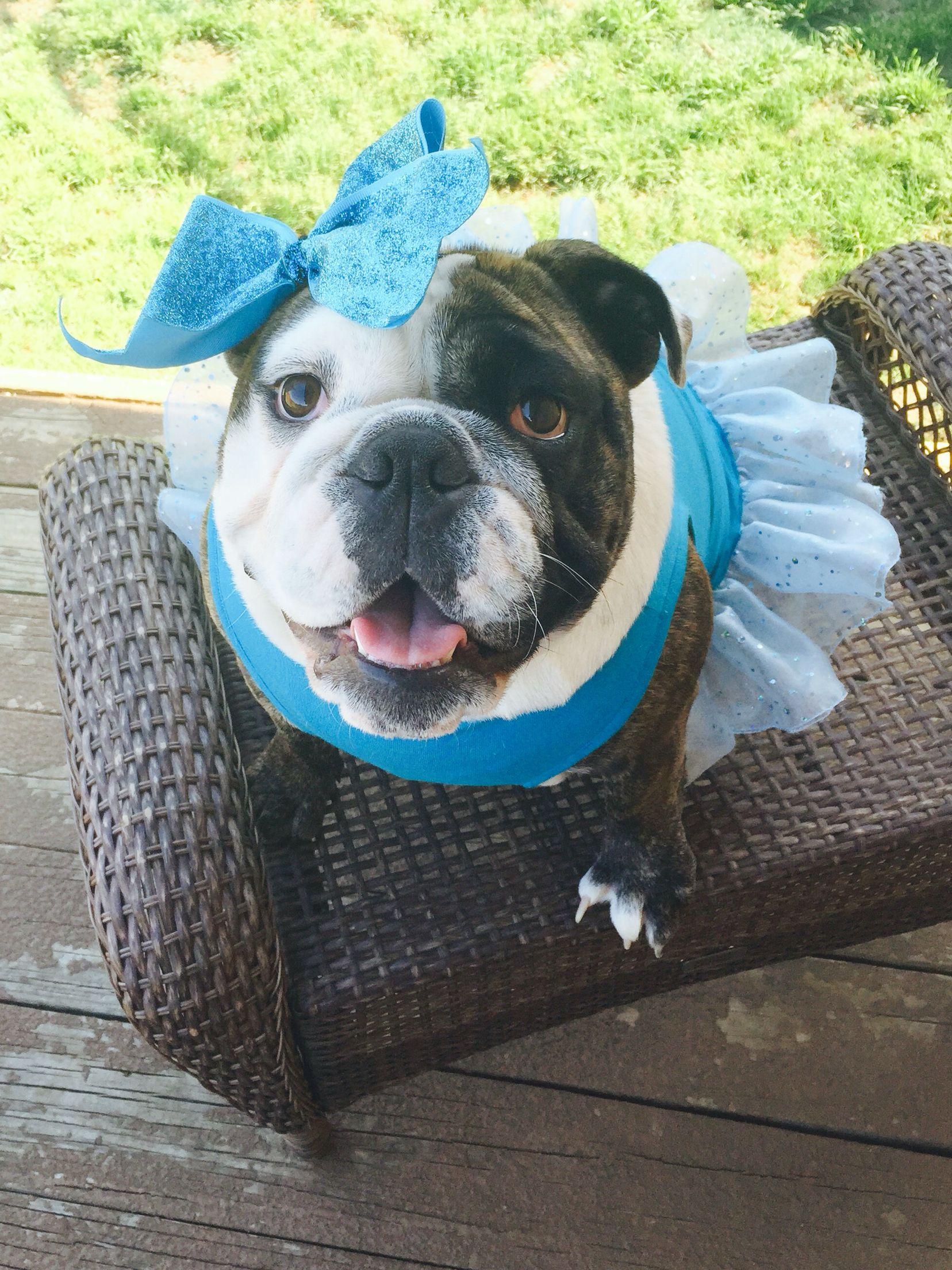 Pin By Magally Sacramento On Karma The Diva Bulldog Bulldog Puppies