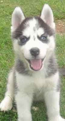 Husky Puppies For Sale More Wagging Tails Husky Puppy Husky Puppies