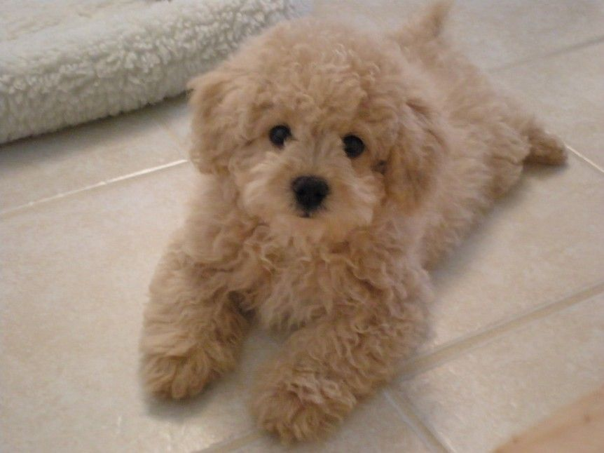 16 Outrageously Adorable Poodle Mixes You Need To See Teddy Bear