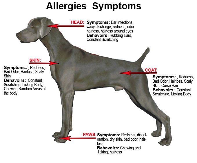 Dog Food Allergies Symptoms Dog Arthritis Dog Food Allergies