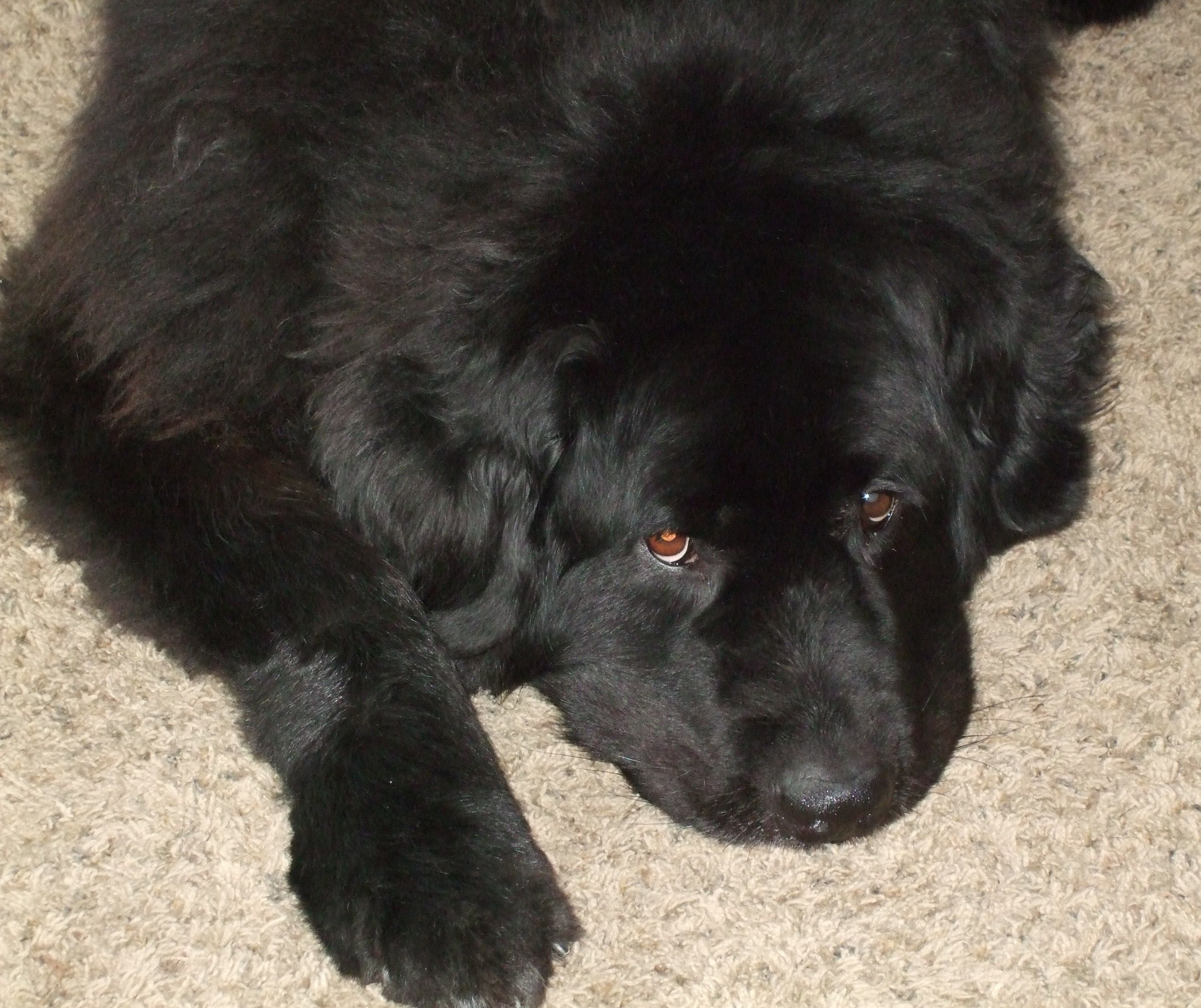 Adopt Jewel on   Adopt Me   Shelter dogs, Dogs, Newfoundland