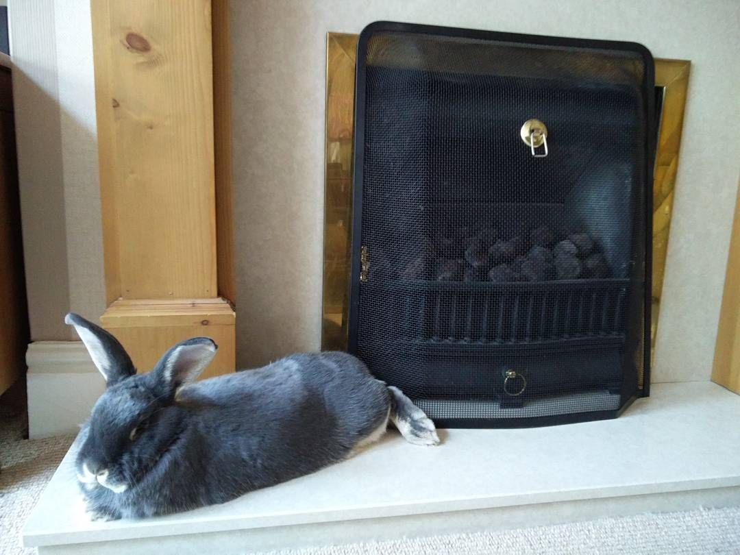 Sleeping by the fire #bunny #rabbit #bunnys #rabbits by alfie_and_isla