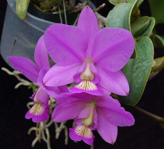 Cattleya nobilior 'Joan Nancy'