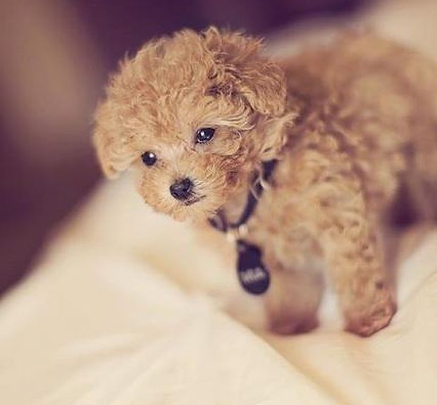 Maltipoo puppies home page. At Pocketpoo's Kennel we have