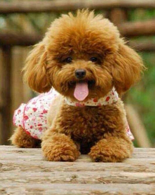 Latestpets On Instagram Poodle Puppy Poodle Dog Poodle