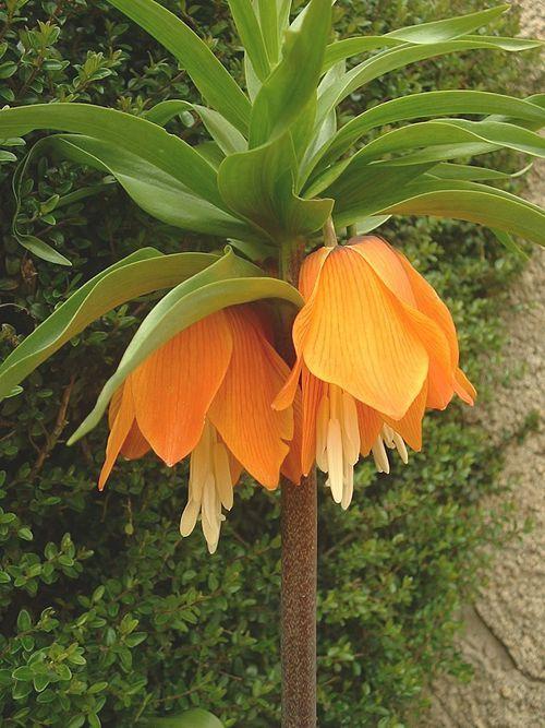 Keisarinpikarililja Wikipedia Flowers Plants Garden