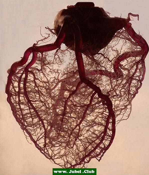 Venen des menschlichen Herzens (ohne Fett oder Muskeln)