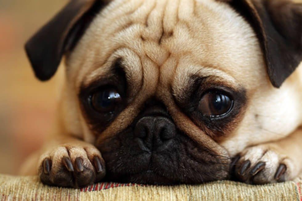 Niedlicher Mops Mit Grossen Augen Hund Angst Mops Mops Hund