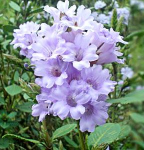 These Are Some Of The Best Flowers From Tamil Nadu India Own Cultivation By The People S In Tamilnad Stone Flower Beds Purple Bell Flowers Beautiful Flowers