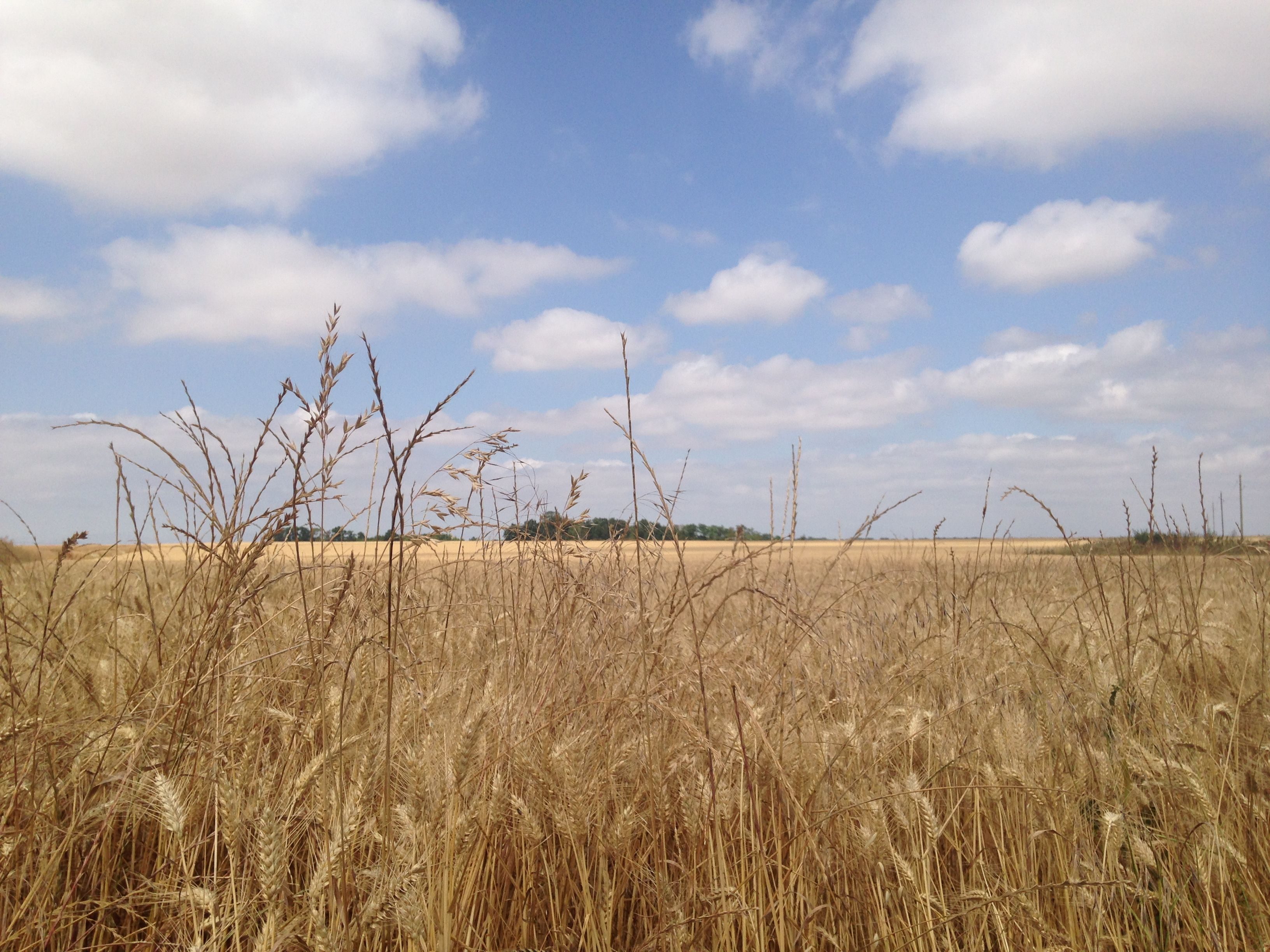 Un bel campo di grano sulla strada per la Normandia!! Anno 2015 foto scattata da Alessandra Bagnato