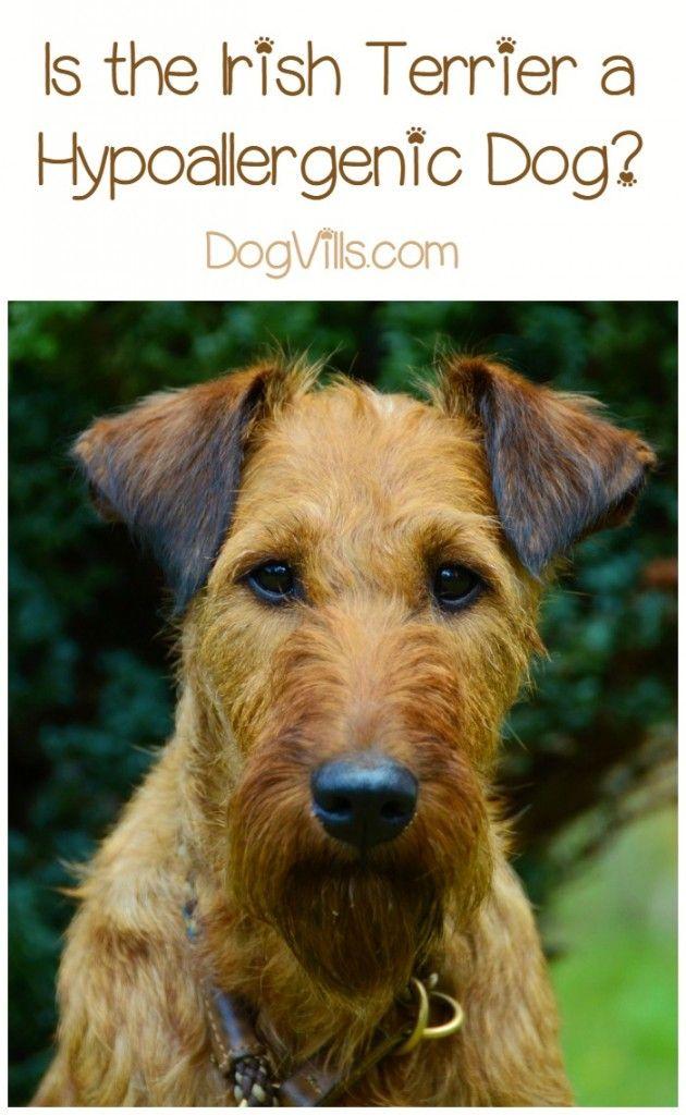 Hypoallergenic Dog Breeds Irish Terrier Hypoallergenic Irish Terrier Hypoallergenic Dog Breed Apple Cider Vinegar Dogs