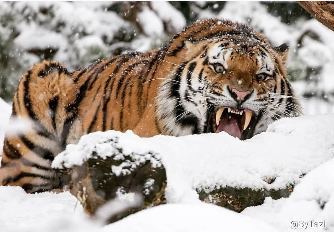 Tigers Are Magnificent On Instagram I Think Something Fell On His Tail Wouldn T Want To Mess With Him What Would Y Wilde Katzen Unbekannt Krafttier