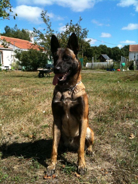 Personal Protection Dogs For Sale Personal Protection Dog Training Www Deltak9 Com Belgian Dog Malinois Dog Belgian Malinois Dog