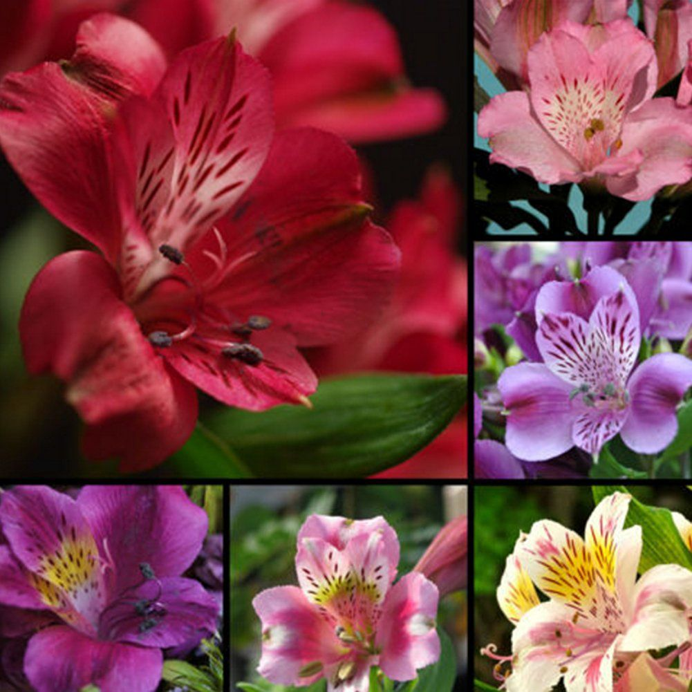 Alstroemeria Lily Mix Flower Seeds Lily Seeds Lily Flower