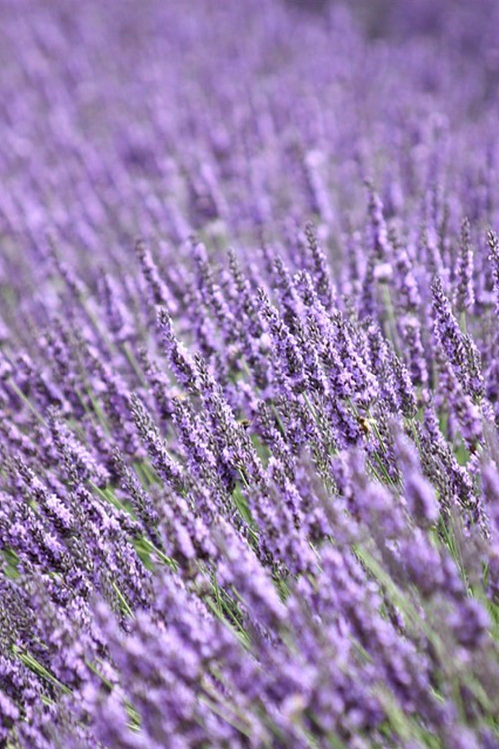 Is All Lavender Edible In 2020 Lavender Plant Growing Lavender Plants