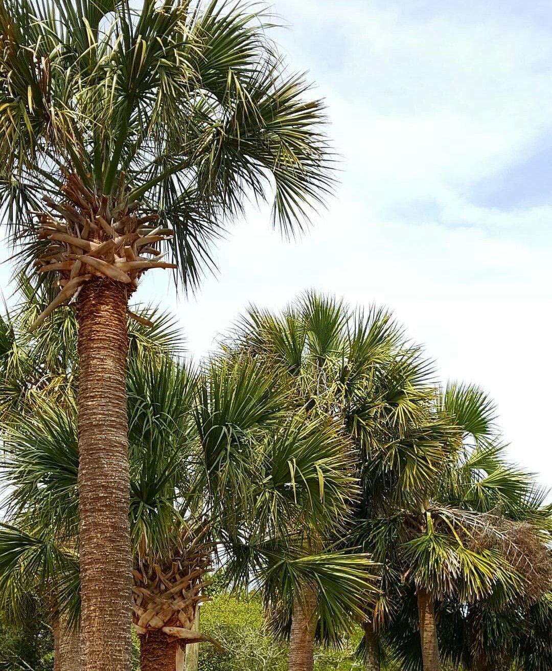 Myrtle Beach Sc Palm Trees