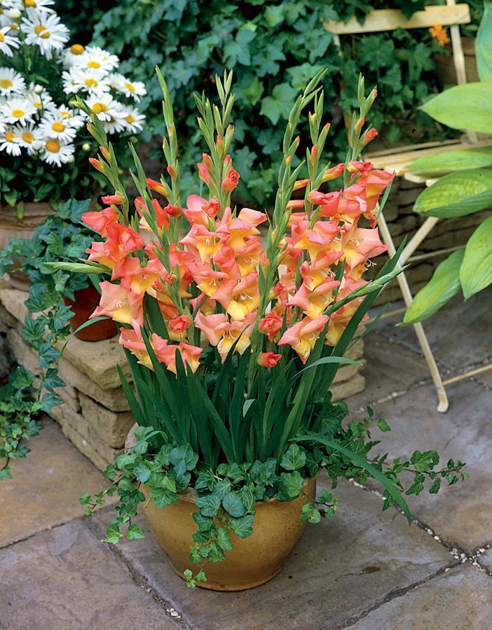 Gladiolus In Containers Google Search Plants Gladiolus Flower Gladiolus